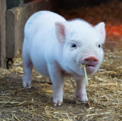 why i went vegan cute piglet
