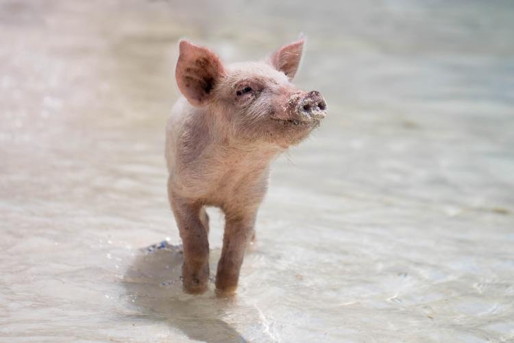 why i went vegan happy pig
