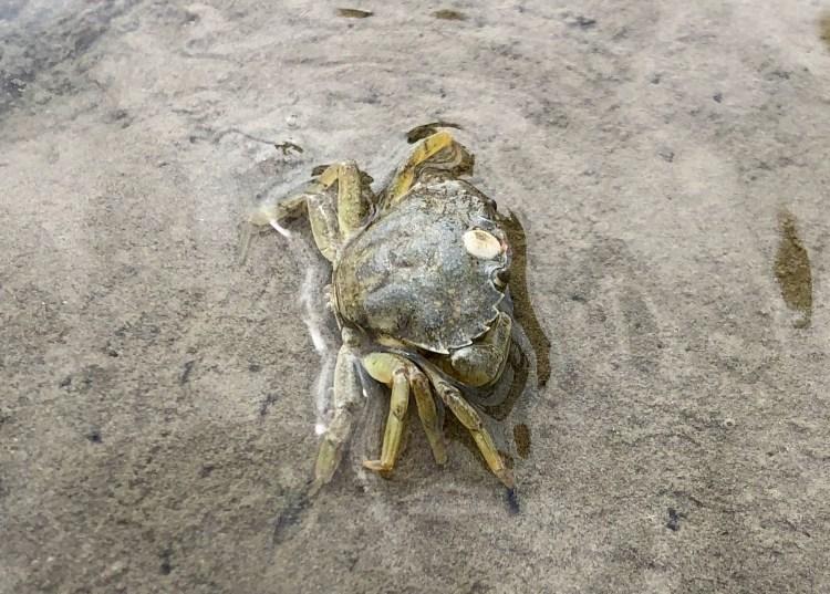 North Sea coast crab