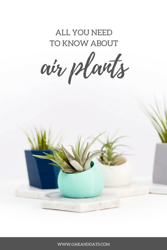All you need to know about Air Plants - Air plant 101 - How to have and take care of air plants!