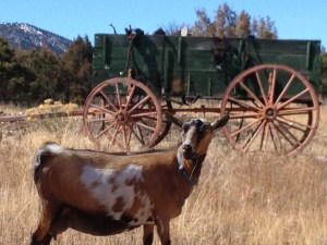 Stella at Oak Creek Goats