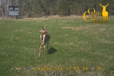Oak Creek Whitetail Ranch doe in Vita Rack Clover