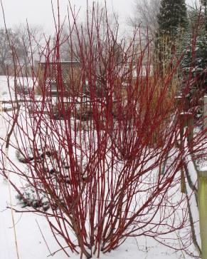 redtwig_snow_