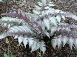 jap painted fern