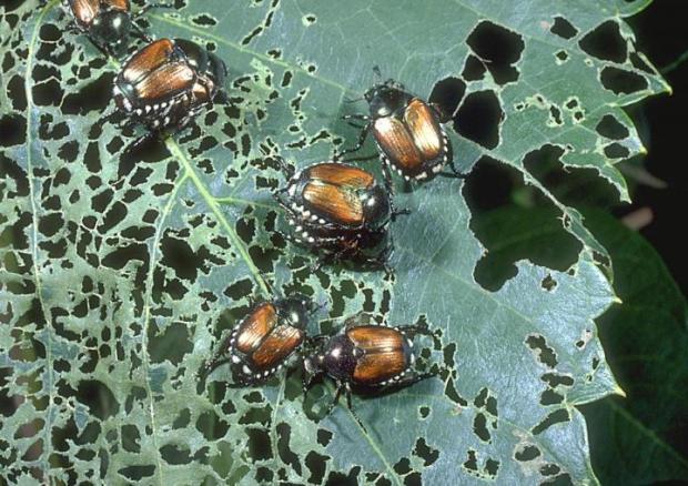 japanese-beetle-damage
