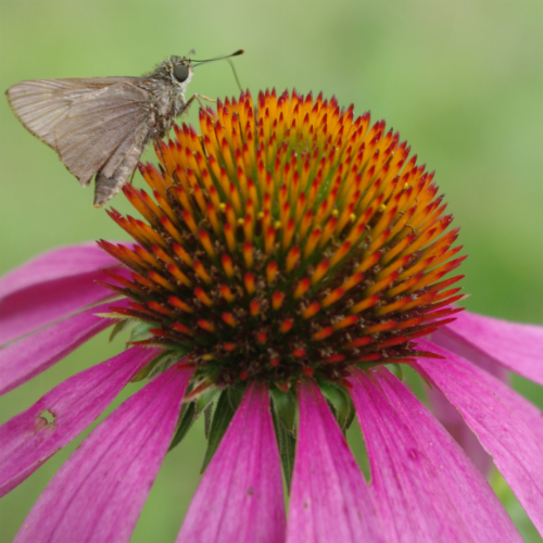 Butterfly on Coneflower500