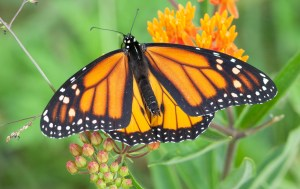 Monarch photo by Nate Yazel.
