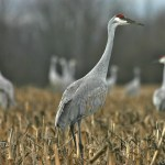 Nature Quest – Sandhill Cranes