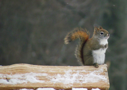 An adult red squirrel surveys the wintery kingdom of Oakland County from his log pile perch.