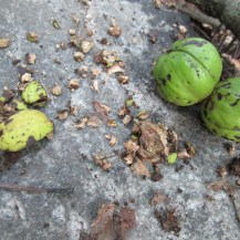 Hickory nuts waiting to be feasted upon by the red squirrel.