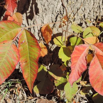 Poison Ivy in Oakland County.
