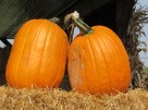 Pumpkins ready for a new porch to call home.