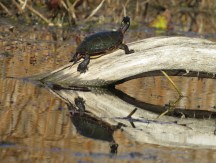 An Eastern Turtle sunning himself.