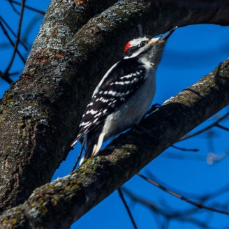 Male Hairy Woodpecker - Photo Credit: Jeff Nedwick