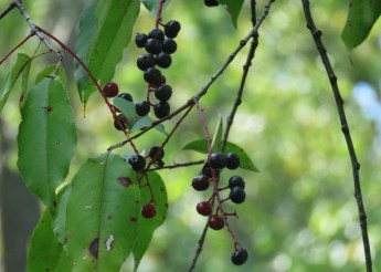 Wild Black Cherry hangs down from a branch. Dappled sunlight and green foliage make up the background of this photo.