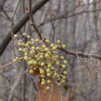 Pale green poison sumac berries hang in a cluster off bare branches on a cloudy day.