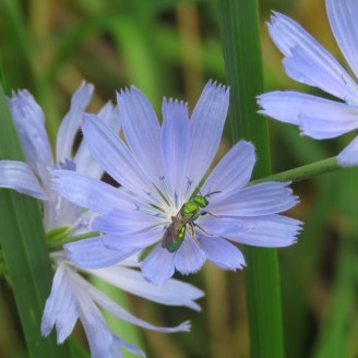 A close-up photo of a pale bluish lavender chicory flowers with a green bug near the center.