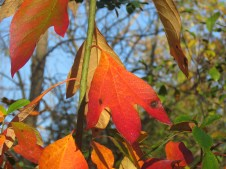 Bright orange sassafras leaves hang down from a branch.