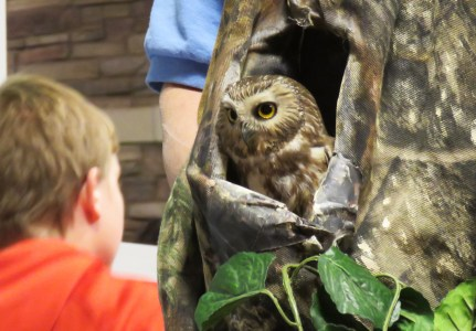 A young boy observes a Northern Saw-whet Owl that sits inside a fake nest. The owl is mottled brown in color with a whitish facial disk and white-spotted head.