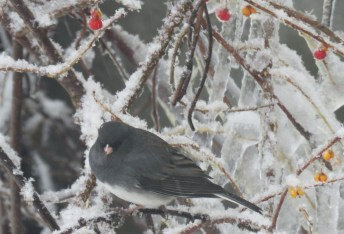 A small gray bird with a white belly perches on a snow covered branch of a bush that has a few icicles and small red and yellow berries on it. The snow is crystalline.