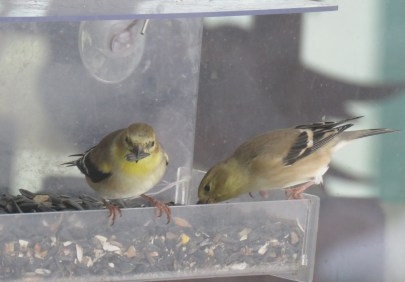 Two yellow finches eat bird seeds from a feeder that is attached to a window with suction cups.