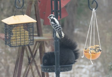 A downy woodpecker perches on a pole that holds a bird feeder tray with a black squirrel in it. A cage feeder with suet hangs to the left while a grapefruit that has been cut in half and filled with bird seed and peanut butter hangs to the right of it.