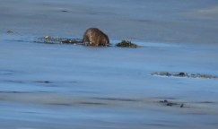 A muskrat emerges from a melt hole in the ice.