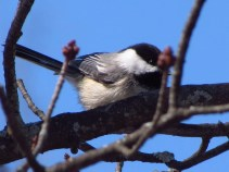 A Black-capped Chickadee sits on a branch against a dark, but bright blue sky.