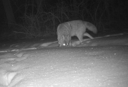 A coyote sniffing in the snow at night for food.