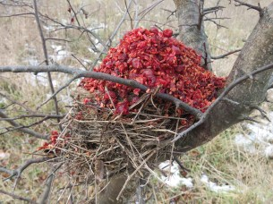 bird nest used by mice capped with berries
