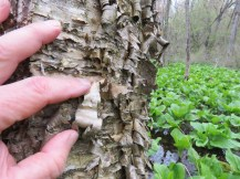 curly bark of yellow birch