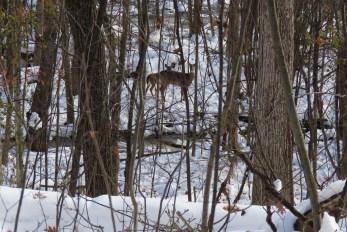 ravine deer