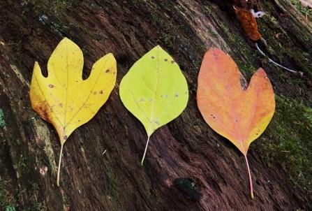 sassafrass leaves