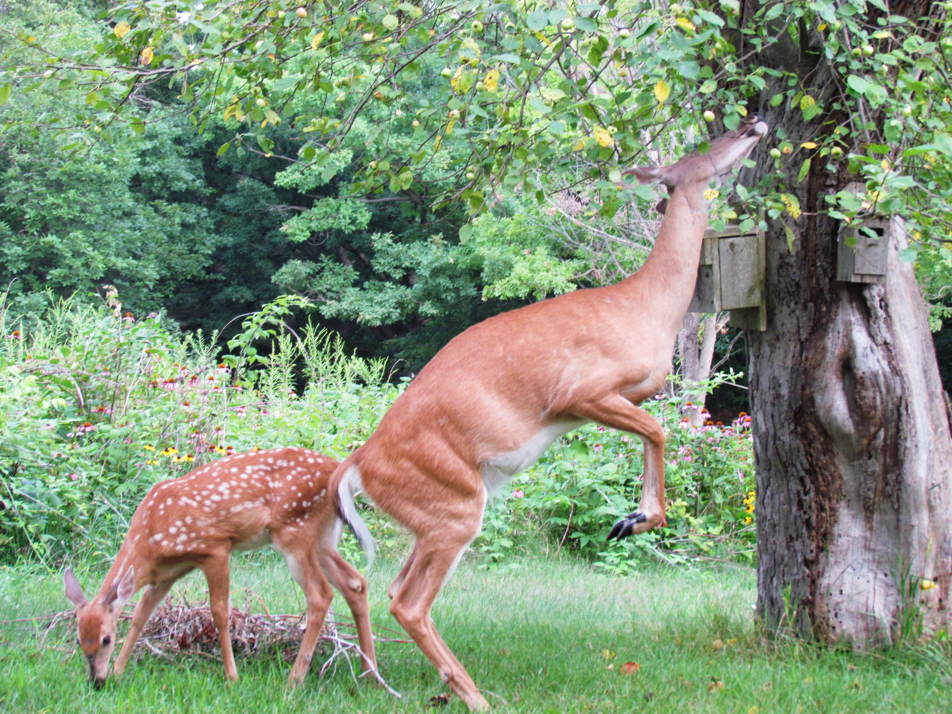 doe picking apples