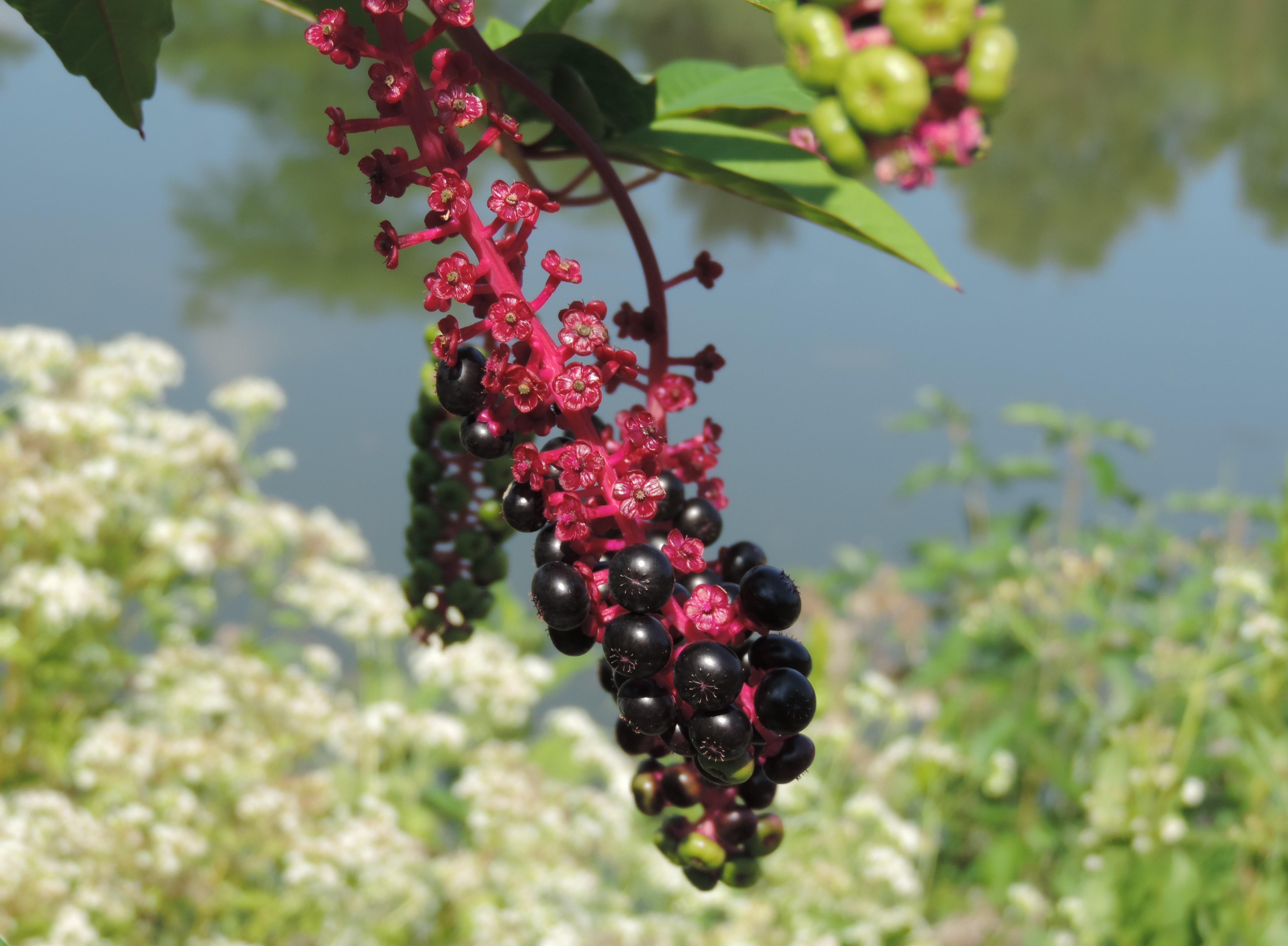 Purple and pink pokeweed berries