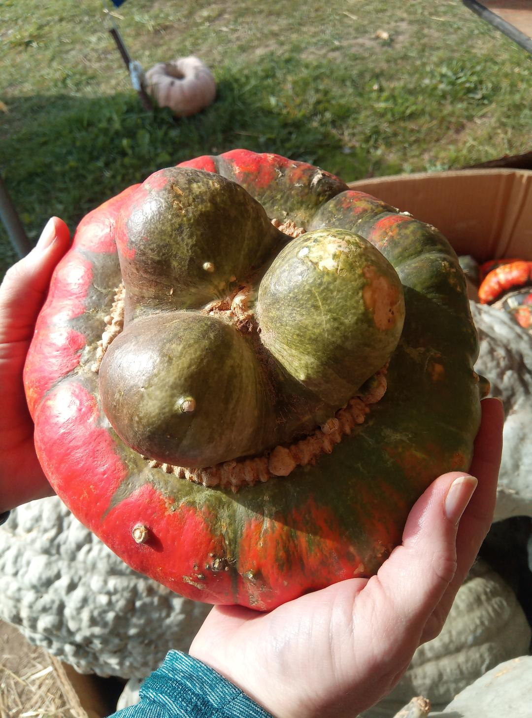 red and green turban gourd