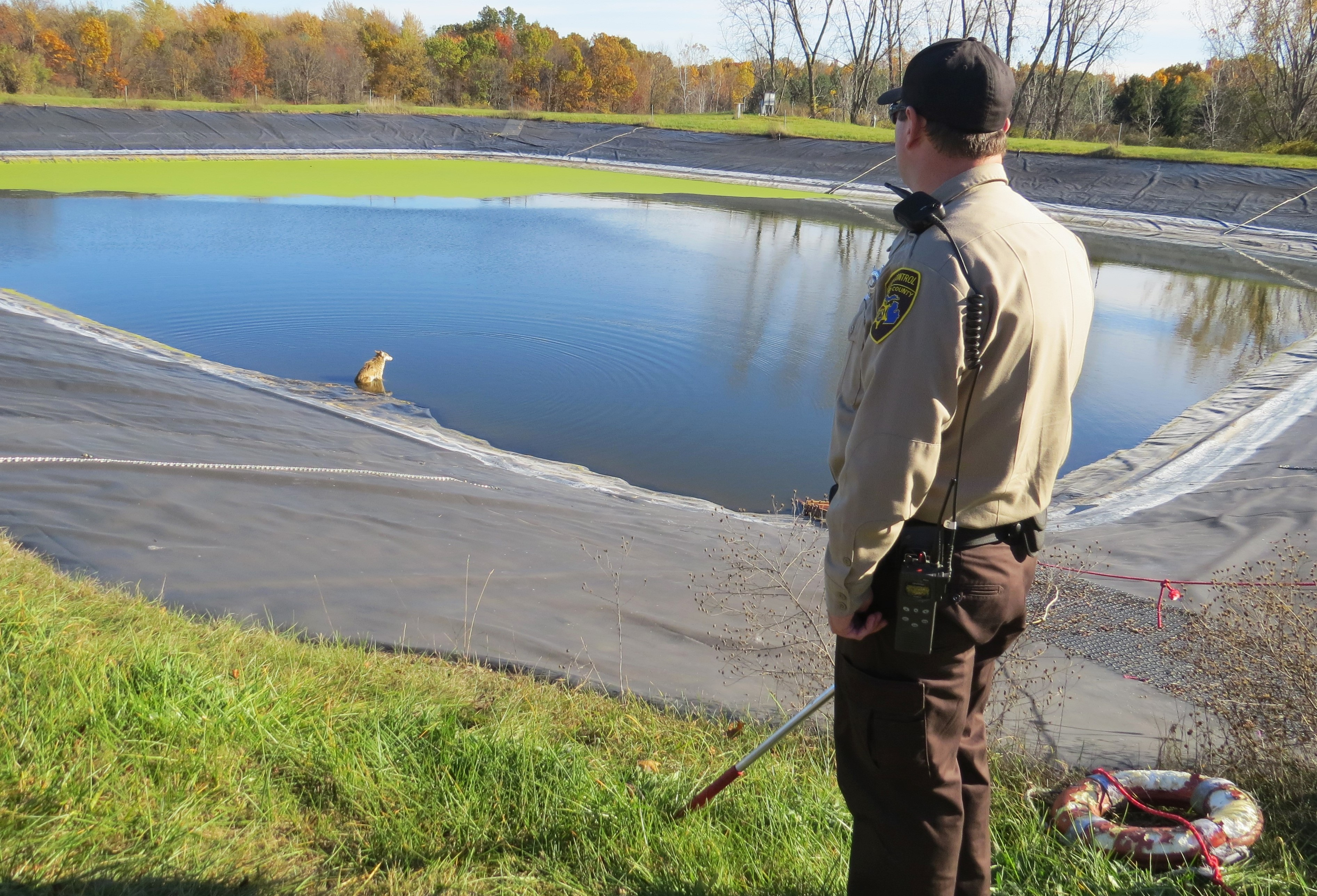 officer helping coyote in pond