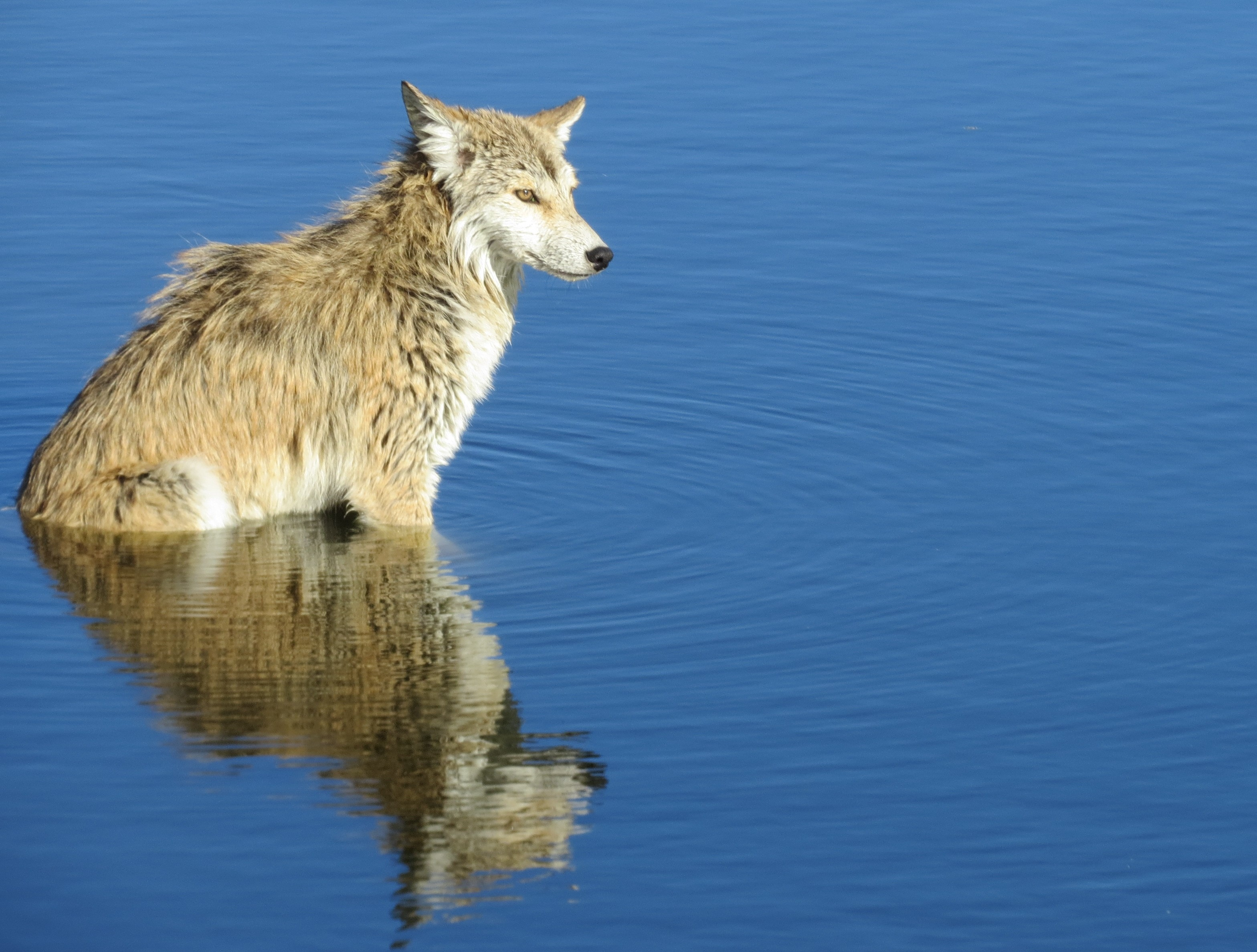 coyote in blue pond