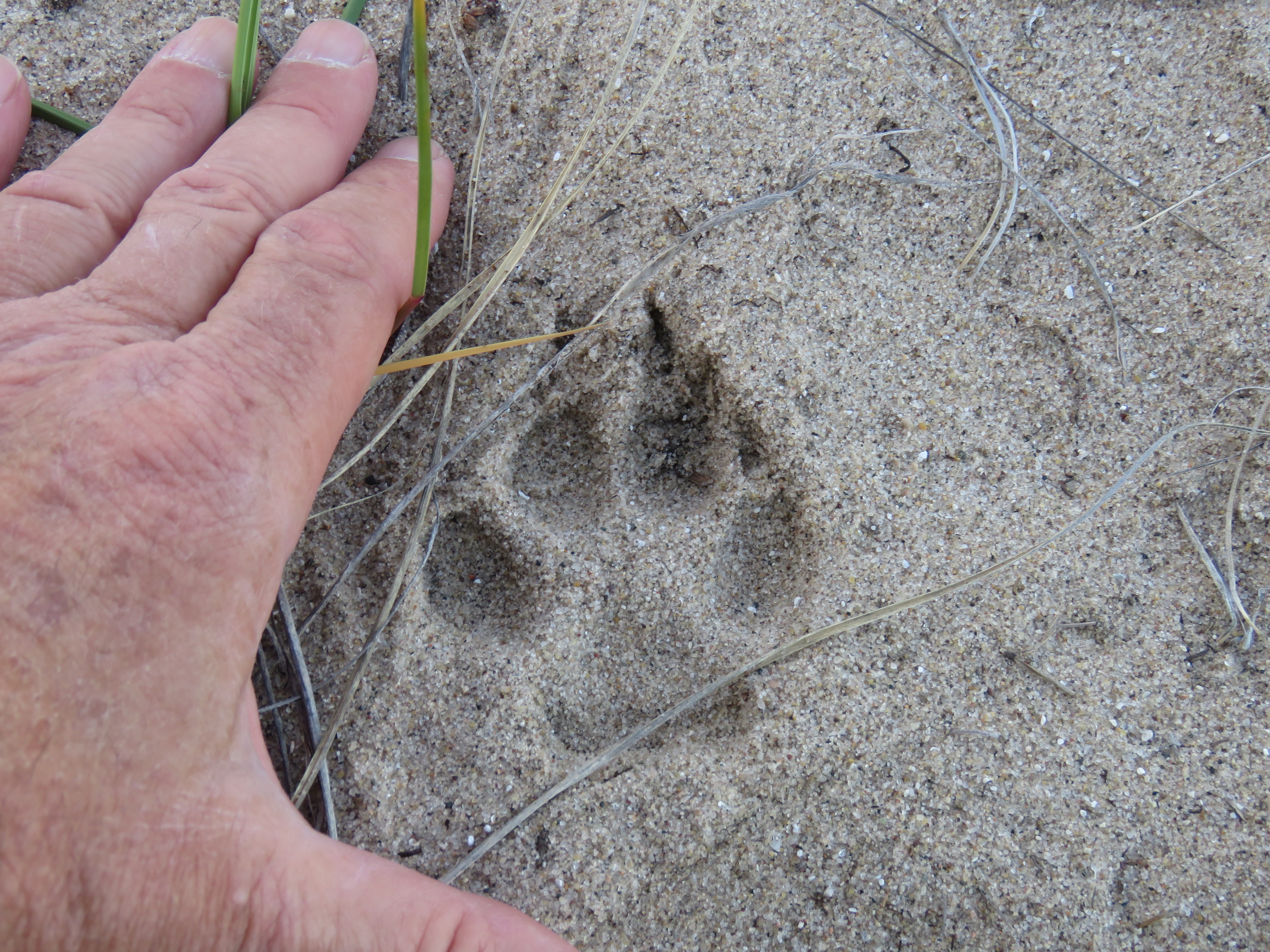 coyote track in sand