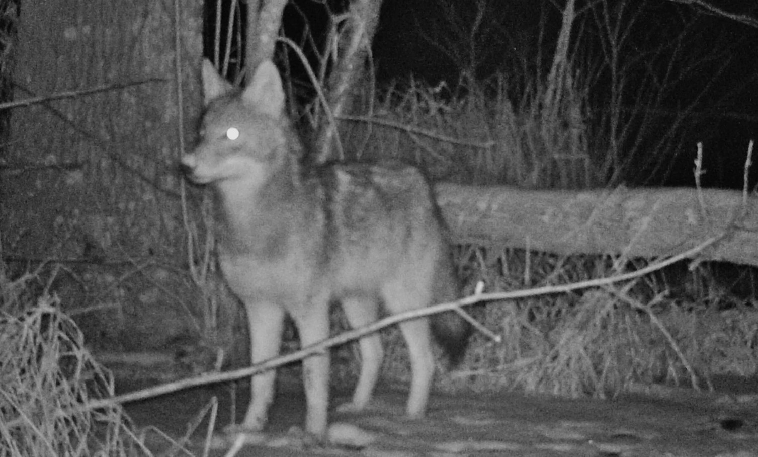 coyote in night