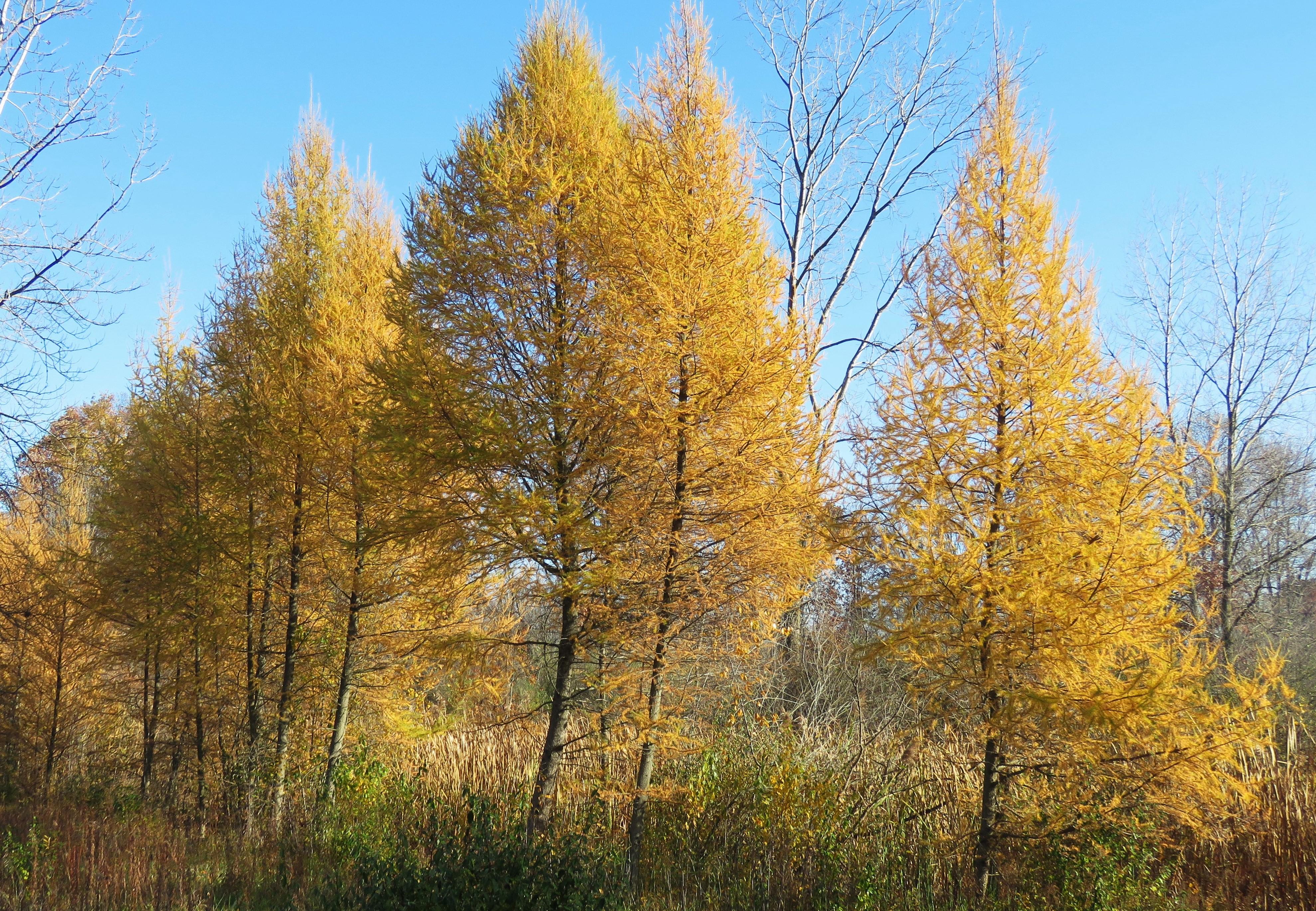 yellow tamaracks