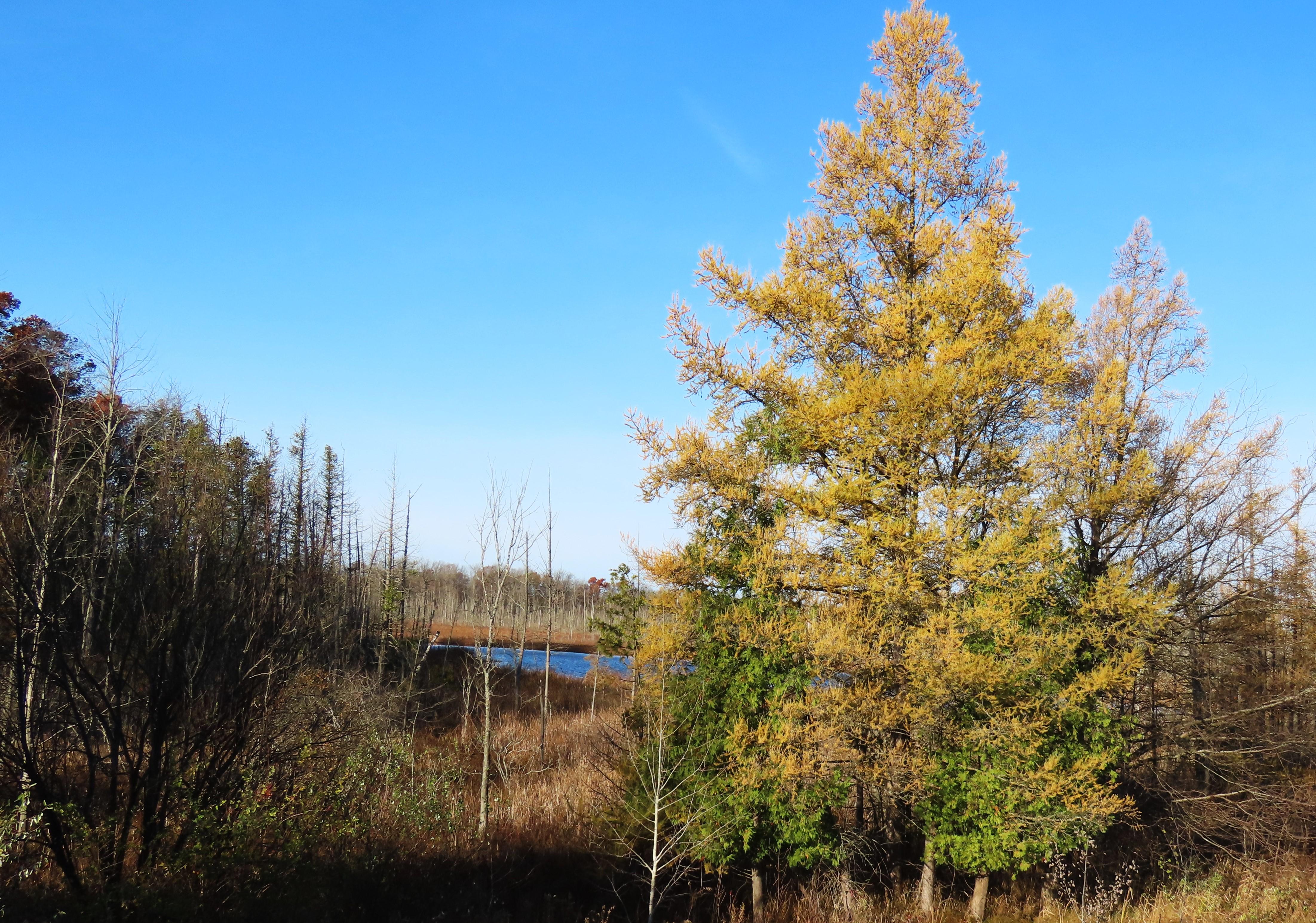 tamarack trees by lake