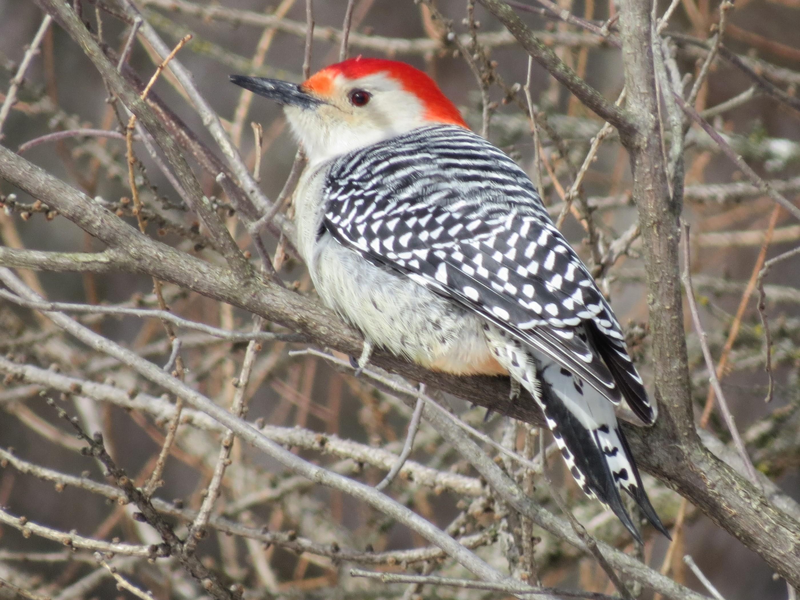 red-bellied woodpecker in shrubs