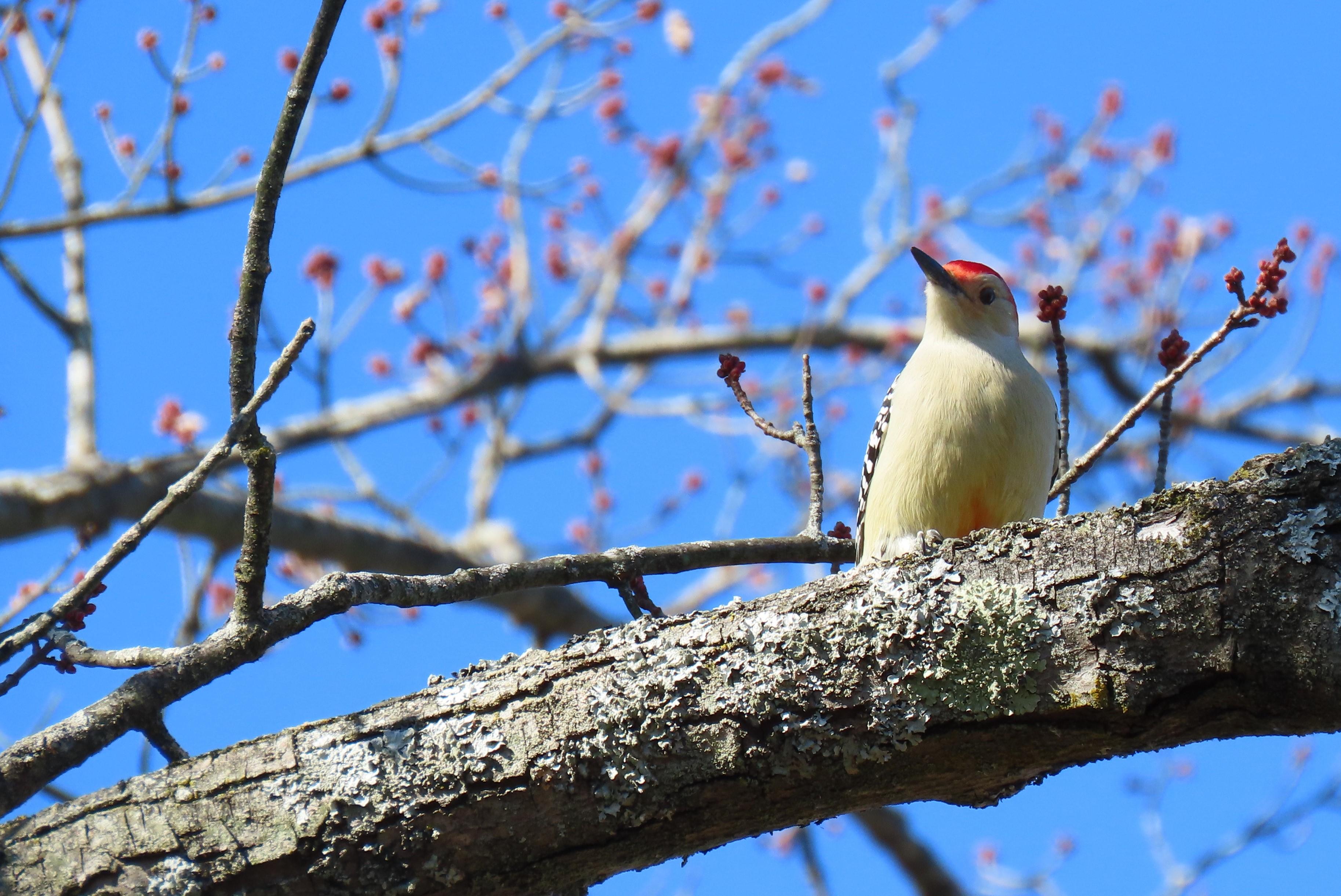 red-bellied woodpecker on branch