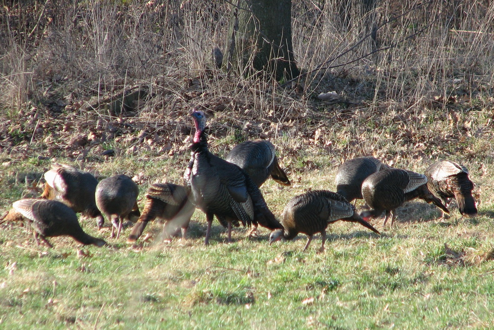 wild turkeys in spring