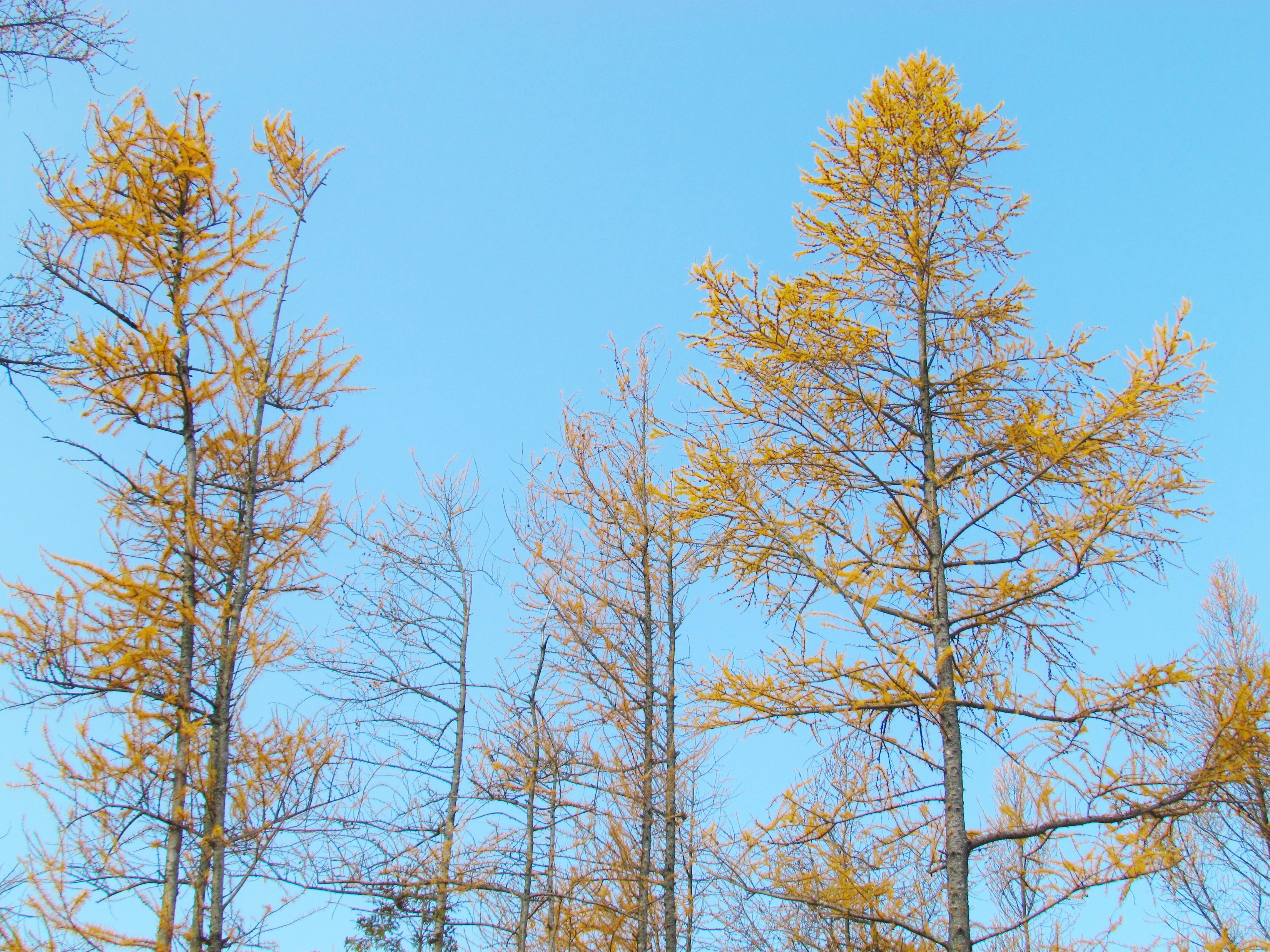 tall tamaracks
