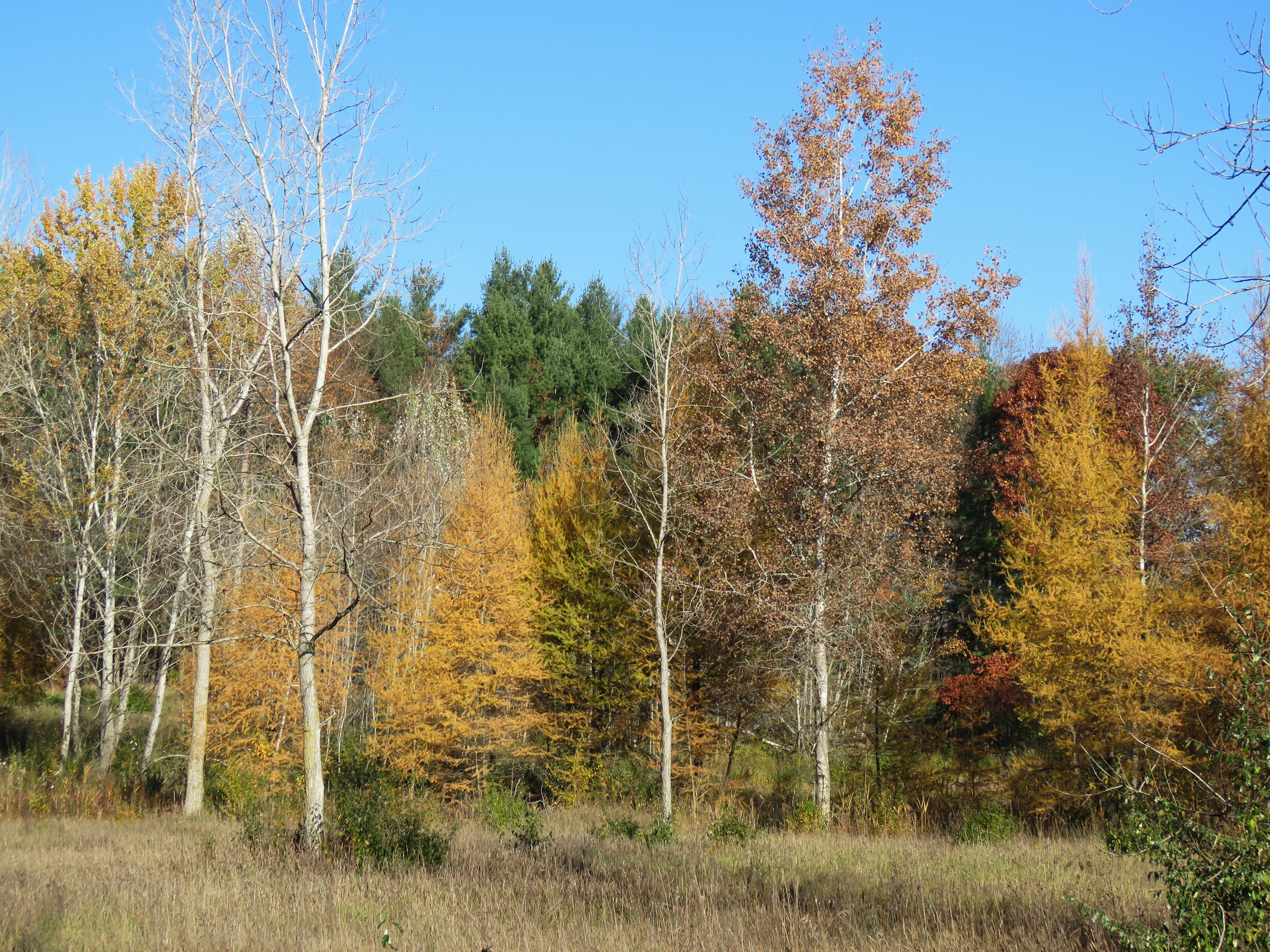 tamarack trees
