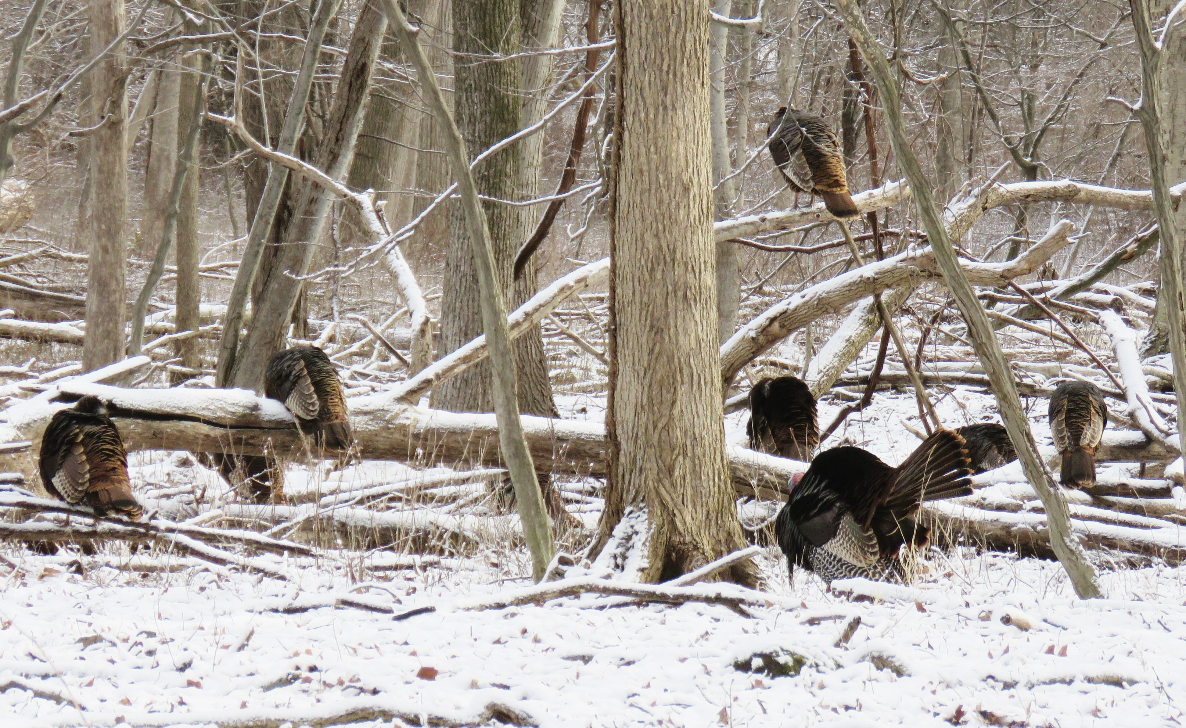 turkey flock in winter woodland
