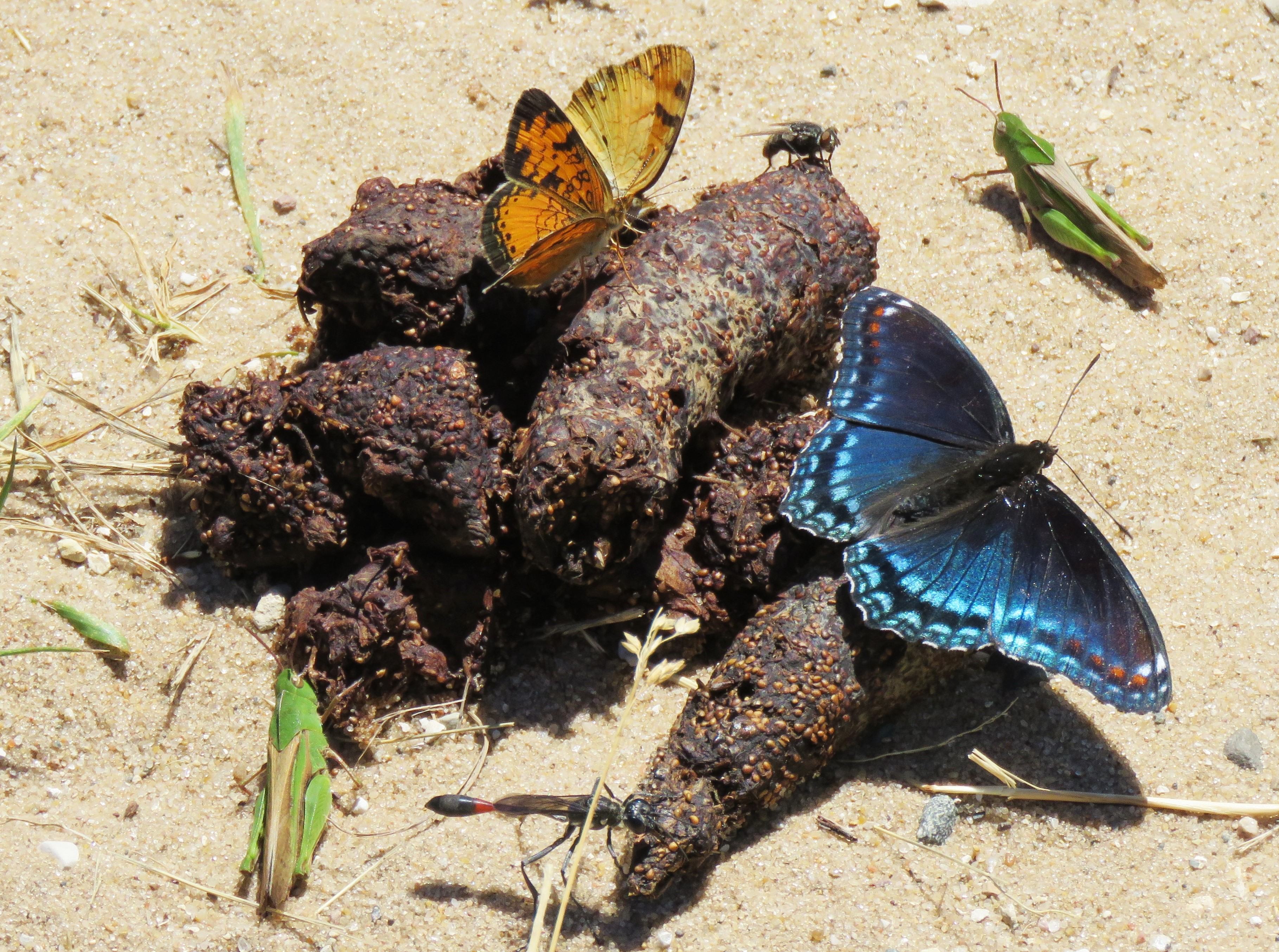 butterfly on coyote scat