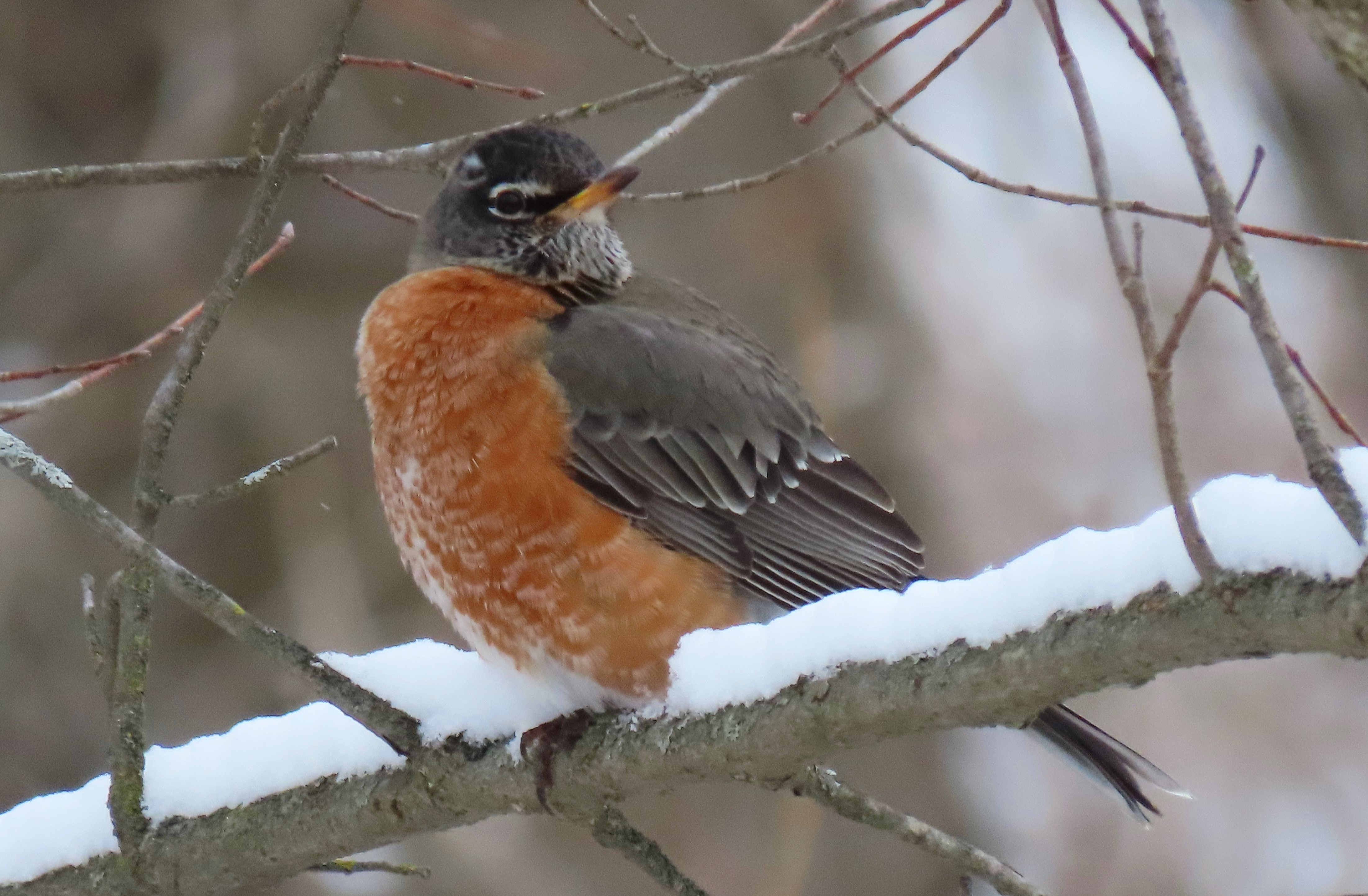 American Robin on a snow-covered branch